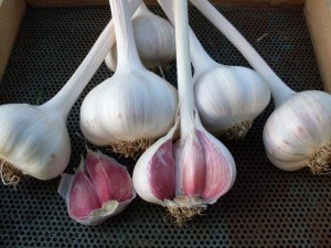 Romanian Red garlic