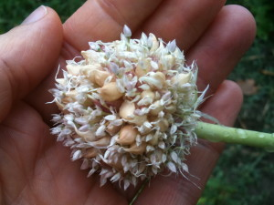 garlic bulbils and seeds