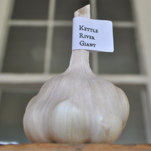 Kettle river giant garlic